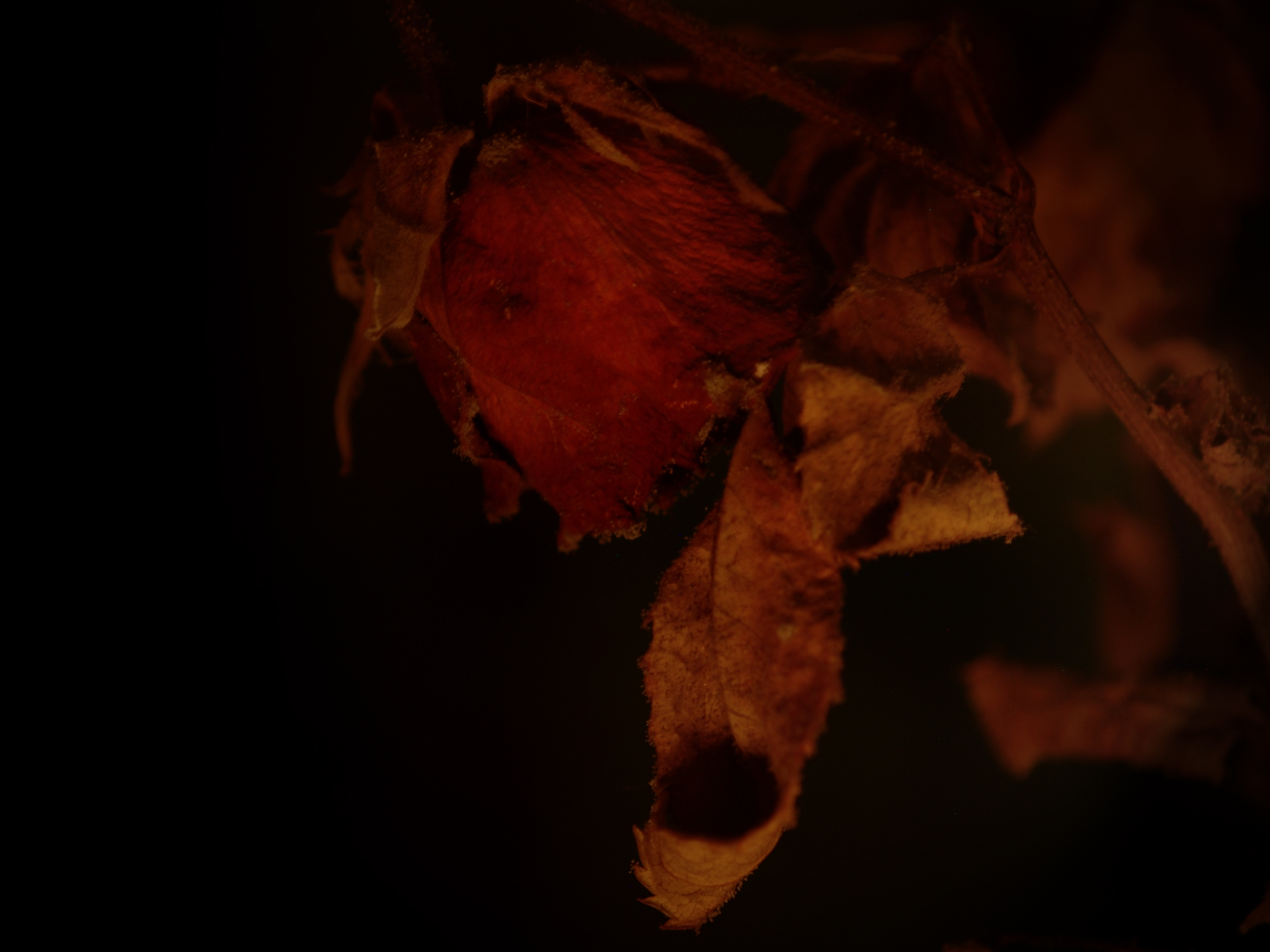 Some Rose