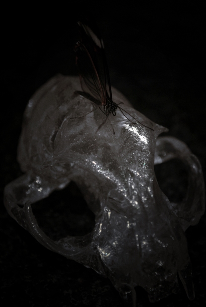 Glasswing on a Glass Skull